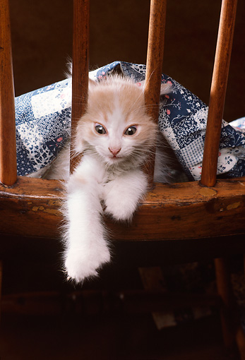CAT 03 RK2385 01 © Kimball Stock Orange And White Kitten Peeking Through Back Of Wooden Chair With Blanket