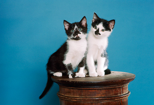 CAT 03 RK2403 23 © Kimball Stock Two Black And White Kittens Sitting On Pedestal Blue-Green Background