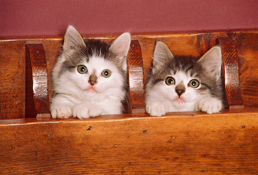 CAT 03 RK2425 01 © Kimball Stock Head Shot Of Two Kittens In Wooden Box