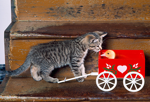 CAT 03 RK2426 07 © Kimball Stock Grey Kitten With Ducklings In Red Wagon On Steps