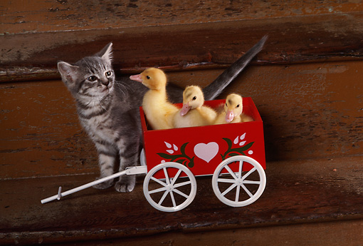 CAT 03 RK2426 08 © Kimball Stock Grey Kitten With Ducklings In Red Wagon On Steps
