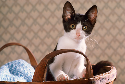 CAT 03 RK2443 16 © Kimball Stock Head Shot Of Black And White Kitten Sitting In Wooden Basket