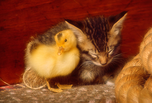 CAT 03 RK2499 13 © Kimball Stock Tabby Kitten Sleeping With Duckling On Rug