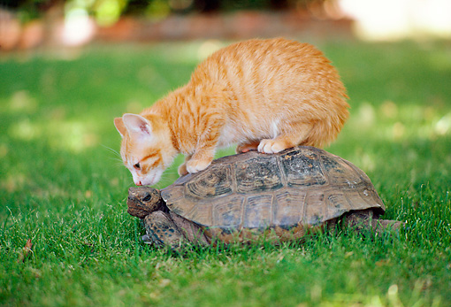 CAT 03 RK2503 04 © Kimball Stock Orange Kitten Sitting On Top Of Tortoise Crawling On Grass