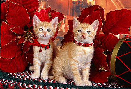 CAT 03 RK2521 02 © Kimball Stock Two Orange Kittens Wearing Collars Sitting Next to Christmas Decorations On A Rug