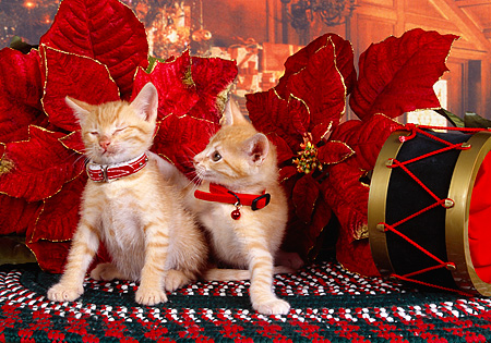 CAT 03 RK2521 05 © Kimball Stock Two Orange Kittens Wearing Collars Sitting Next to Christmas Decorations On A Rug