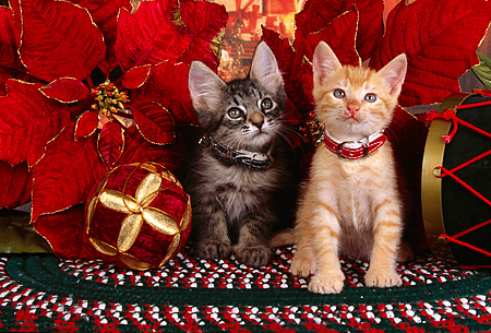 CAT 03 RK2522 02 © Kimball Stock Gray And Orange Kittens Wearing Collars Sitting Next to Christmas Decorations On A Rug
