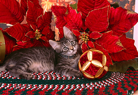 CAT 03 RK2524 05 © Kimball Stock Gray Kitten Wearing A Collar Laying Next To Christmas Decorations On A Rug