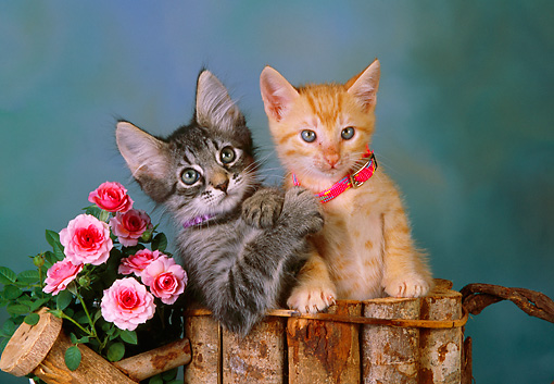 CAT 03 RK2540 04 © Kimball Stock Head Shot Of Orange And Gray Kittens With Collars In Wooden Planter With Flowers