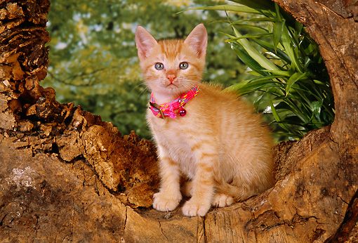 CAT 03 RK2556 02 © Kimball Stock Orange Kitten With Collar Sitting In Hole Of Log By Plants