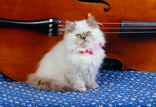 CAT 03 RK2566 12 © Kimball Stock Persian Cream Point Dilute Calico Sitting By Cello