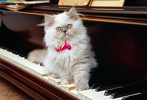 CAT 03 RK2568 05 © Kimball Stock Persian Cream Point Dilute Calico Kitten Sitting On Piano Keyboard