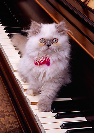 CAT 03 RK2568 21 © Kimball Stock Persian Cream Point Dilute Calico Kitten Sitting On Piano Keyboard