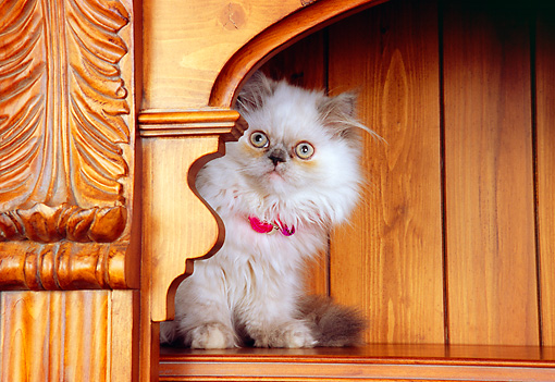 CAT 03 RK2570 07 © Kimball Stock Persian Cream Point Dilute Calico Kitten Sitting On Bookcase