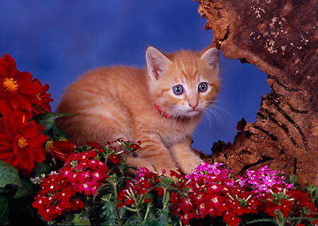 CAT 03 RK2587 03 © Kimball Stock Orange Kitten Sitting In Hole Of Tree Stump With Flowers