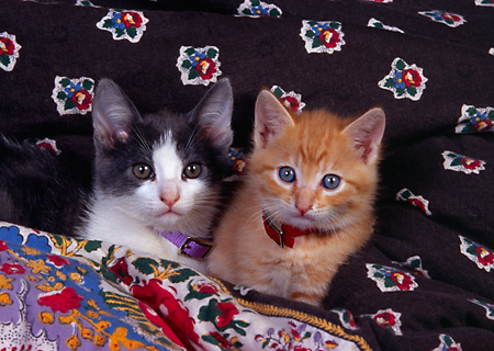 CAT 03 RK2595 05 © Kimball Stock Two Kittens Laying On Quilt