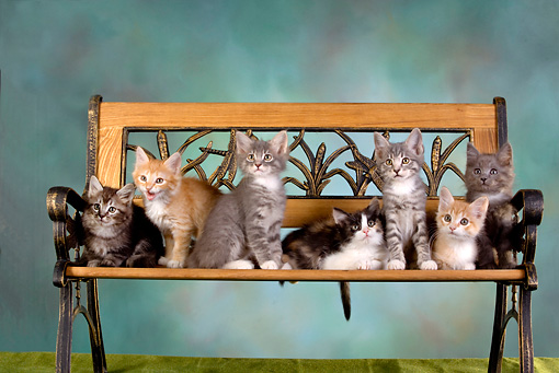 CAT 03 RK2627 01 © Kimball Stock Group Of Kittens On Bench Studio