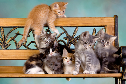 CAT 03 RK2629 01 © Kimball Stock Group Of Kittens On Bench Studio