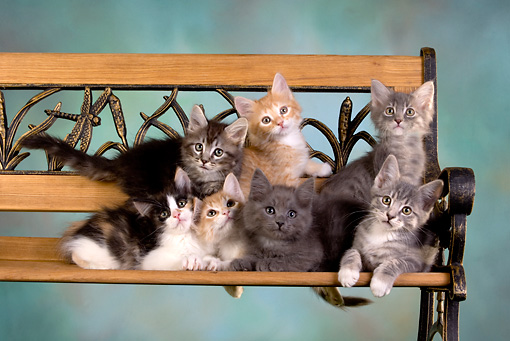 CAT 03 RK2630 01 © Kimball Stock Group Of Kittens On Bench Studio