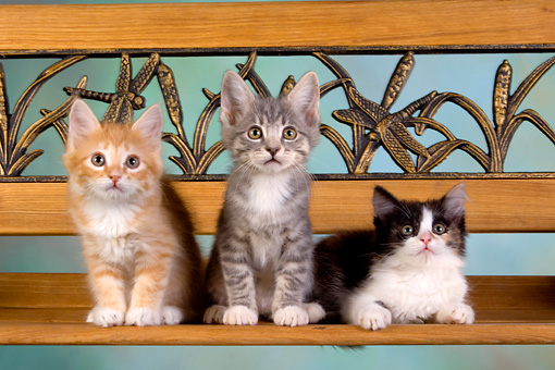 CAT 03 RK2633 01 © Kimball Stock Group Of Kittens On Bench Studio