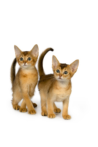 CAT 03 RK2656 01 © Kimball Stock Two Abyssinian Kittens On White Seamless Studio