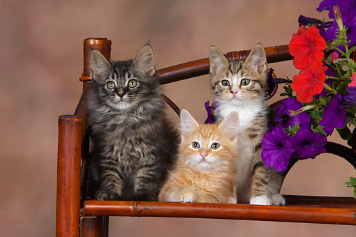 CAT 03 RK2659 01 © Kimball Stock Three Kittens Sitting On Chair By Flowers Studio