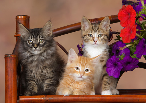 CAT 03 RK2660 01 © Kimball Stock Three Kittens Sitting On Chair By Flowers Studio