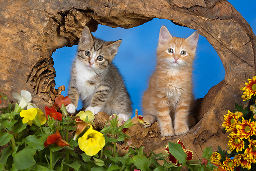 CAT 03 RK2667 01 © Kimball Stock Orange And Tabby Kittens In Wooden Stump By Flowers Studio