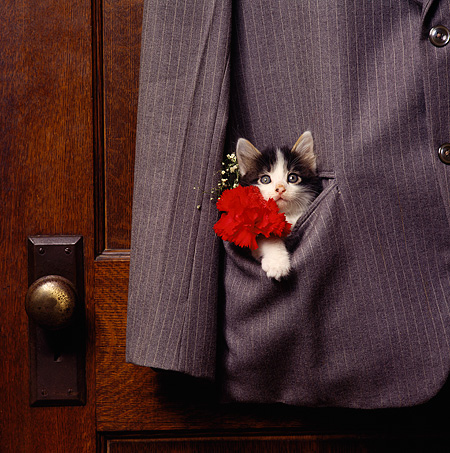 CAT 03 RS0035 02 © Kimball Stock Head Shot Of Black And White Kitten In Suit Pocket With Flower