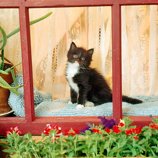 CAT 03 RS0040 01 © Kimball Stock Black And White Kitten Sitting By Window And Flowers