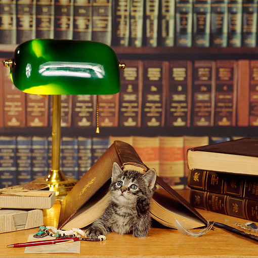 CAT 03 RS0046 02 © Kimball Stock Tabby Kitten Laying Under Book In Library