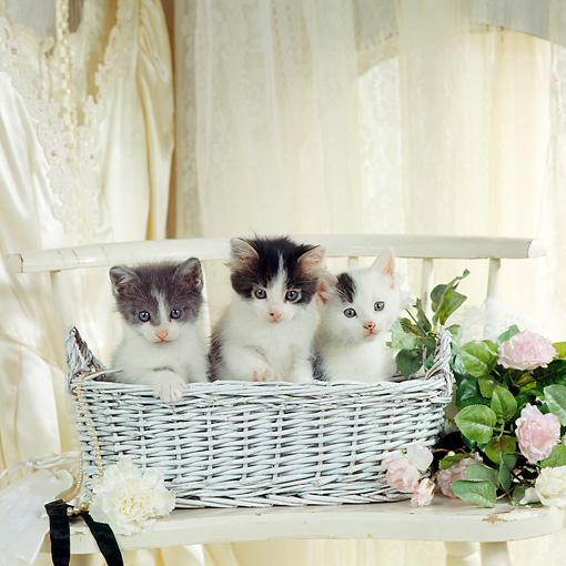 CAT 03 RS0053 01 © Kimball Stock Three Kittens Sitting In Basket By Wedding Dress