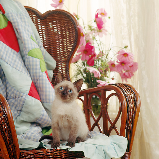 CAT 03 RS0054 01 © Kimball Stock Siamese Kitten Sitting On Chair By Flowers And Window