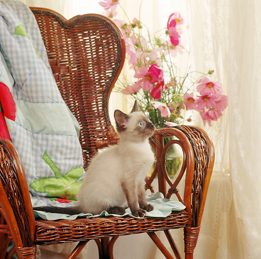 CAT 03 RS0054 02 © Kimball Stock Siamese Kitten Sitting On Chair By Flowers And Window