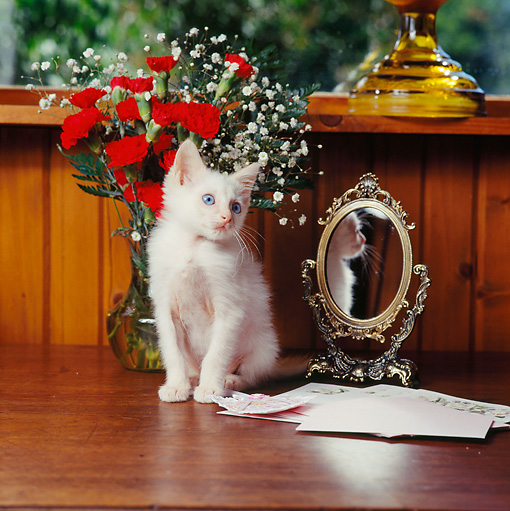 CAT 03 RS0072 01 © Kimball Stock White Kitten Sitting By Mirror Red Flowers And Valentine Card