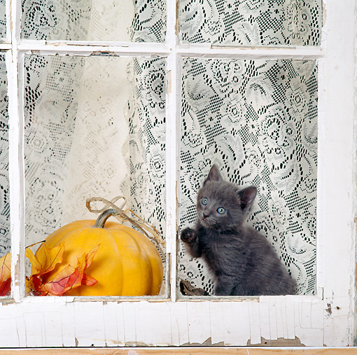 CAT 03 RS0075 01 © Kimball Stock Gray Kitten Sitting By Window And Pumpkin