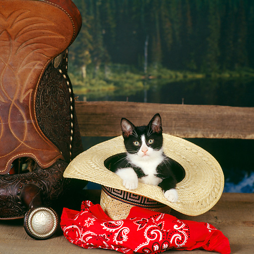 CAT 03 RS0081 02 © Kimball Stock Black And White Kitten Sitting In Cowboy Hat By Red Bandana