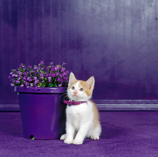 CAT 03 RS0089 01 © Kimball Stock Orange And White Kitten Sitting By Purple Flowers In Flower Pot