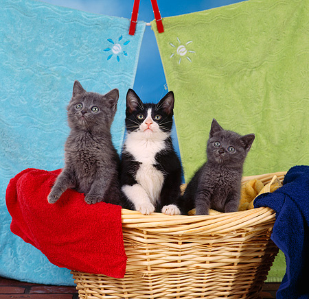 CAT 03 RS0115 01 © Kimball Stock Group Of Kittens In Laundry Basket By Towels
