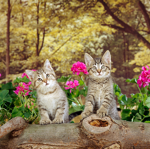 CAT 03 RS0120 02 © Kimball Stock Two Polydactyl Kittens Standing Behind Log By Flowers Studio