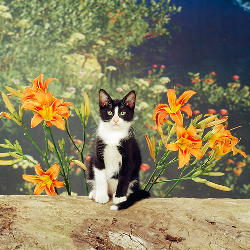 CAT 03 RS0122 02 © Kimball Stock Black And White Kitten Sitting On Log By Orange Flowers