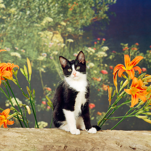 CAT 03 RS0122 03 © Kimball Stock Black And White Kitten Sitting On Log By Orange Flowers