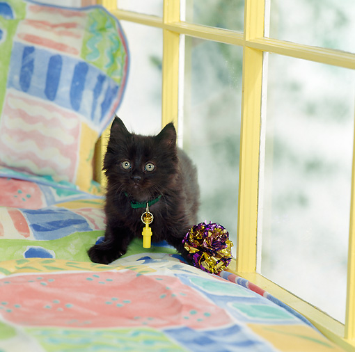 CAT 03 RS0211 01 © Kimball Stock Black Kitten Sitting On Chaise Longue By Toy And Window