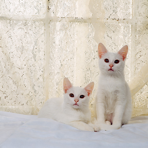 CAT 03 RS0248 02 © Kimball Stock Portrait Of White Kittens Sitting By Lace Curtain