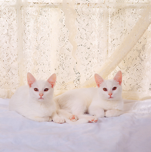 CAT 03 RS0249 02 © Kimball Stock Portrait Of White Kittens By Lace Curtain