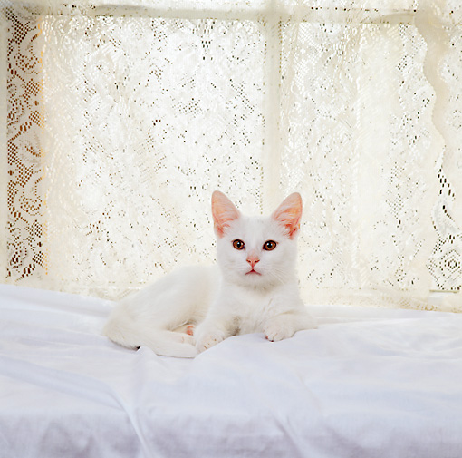 CAT 03 RS0250 02 © Kimball Stock Portrait Of White Kitten Laying By Lace Curtain