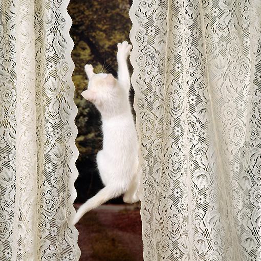 CAT 03 RS0256 01 © Kimball Stock White Kitten Climbing By Curtains At Window