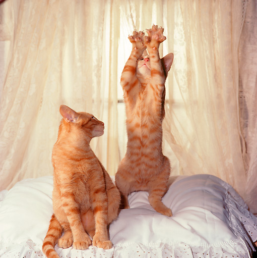 CAT 03 RS0258 01 © Kimball Stock Red Tabby Kittens On Pillow By Lace Curtain