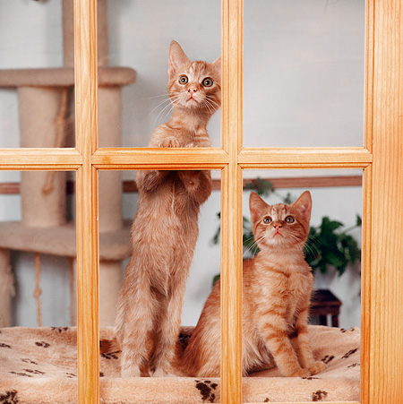 CAT 03 RS0302 03 © Kimball Stock Two Tabby Kittens Looking Out Window