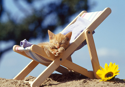 CAT 03 SS0002 01 © Kimball Stock Orange Tabby Kitten Sleeping On Beach Chair